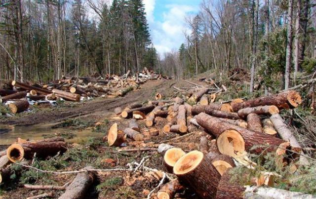 За незаконну рубку лісу Прикарпатський військовий лісгосп сплатить чималий штраф