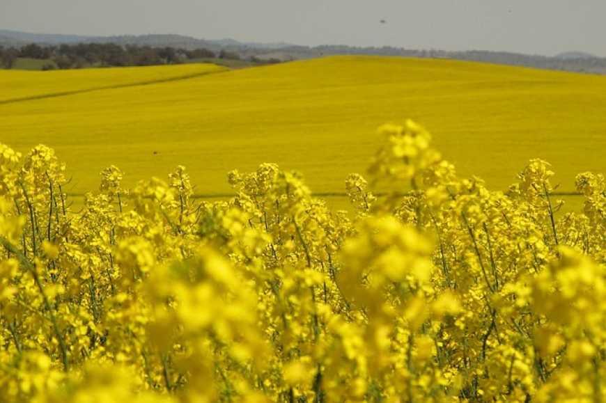 На Франківщині виявили майже 4 тисячі гектарів необлікованого ріпаку