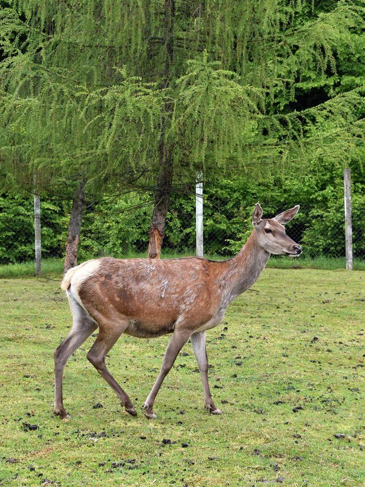 У Галицькому реабілітаційному центрі родина оленів з нетерпінням чекає на відвідувачів: фото